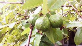 Guava Arkivbild
