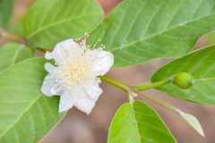 Guava. Blossoming flower show is full of pollen Stock Images