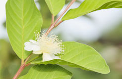 Guava. Blossoming flower show is full of pollen Royalty Free Stock Image