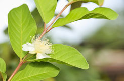 Guava. Blossoming flower show is full of pollen Royalty Free Stock Photography