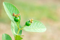 Guava Buds Stock Images