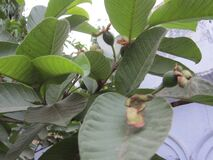 A  Picture Of guava tree