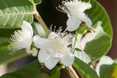 Guava Flower. Some beautiful white guava flowers Stock Photos