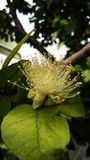 Guava flower Stock Photo