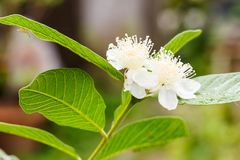 Guava flower in full bloom. Close up of guava flower in full bloom Stock Photo
