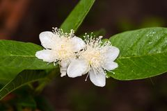 Guava flower in full bloom. Close up of guava flower in full bloom Royalty Free Stock Photo