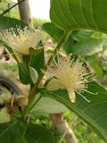 guava flower stock photography