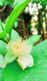 Guava flower green leafe royalty free stock photo