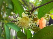 Guava flower Stock Image