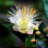 Guava Flowering. Bud, half open and fully open Stock Photo