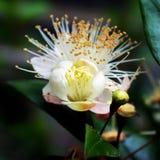 Guava Flowering Stock Photo