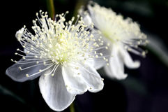 Guava flowers are blooming Royalty Free Stock Photos
