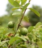 Guava friut Stock Images