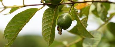 Guava friut Stock Photo