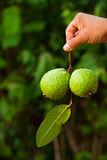 Guava fruit Royalty Free Stock Photos