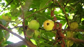 Guava fruit on the branch. Guava fruit on tree branch. fresh guava fruit on guava green tree sweet and yummy stock video
