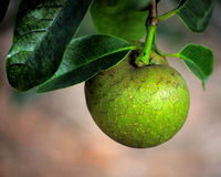 Guava fruit. Closeup of a guava fruit growing wild royalty free stock photo