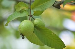 Guava. Fruit in a garden Stock Photography