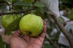Guava fruit on hand Royalty Free Stock Photography