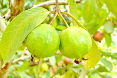 Guava fruit (Psidium guajava) Stock Photography