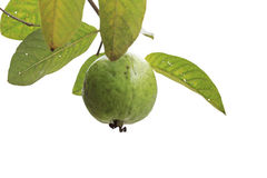Guava fruit on tree Royalty Free Stock Photos