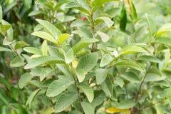 Guava fruit tree leaf tropical Stock Photos