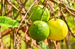 Guava fruit in the tree Stock Photo