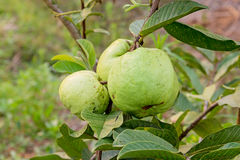 Guava fruit on the tree (Psidium guajava). Stock Photos
