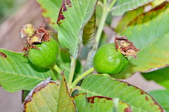 Guava fruit on the tree Stock Photo