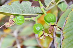 Guava fruit on the tree Royalty Free Stock Photos