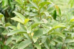 Guava fruit tree tropical Stock Photos