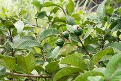 Guava fruit tree Royalty Free Stock Image