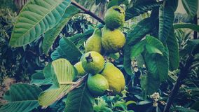 Guava Fruits. Exotic fruits in Gran Canaria, Spain. Photo was taken with mobile Stock Images