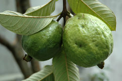Guava Fruits on Tree Stock Image