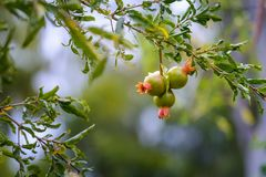 Guava fruits on tree at Reunion Island. Close up of guava fruits on tree at Reunion Island Stock Images