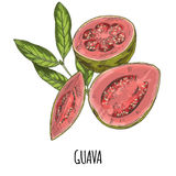 Guava. Full color realistic hand drawn vector. Royalty Free Stock Photo