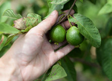 Guava in hand Stock Photo