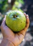 Guava i hand Royaltyfria Foton