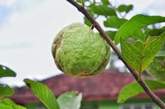 Guava isolated on green nature stock photos