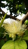 Guava kwiat obraz stock