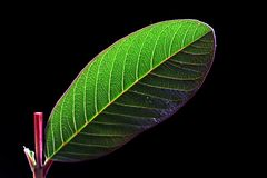 Guava leaf Stock Photography