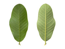 Guava leaf Royalty Free Stock Photography