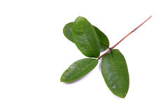 Guava leaves Stock Photos