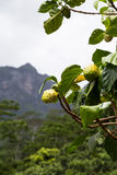 Guava and the mountains Stock Images