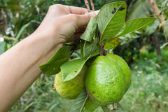 Guava native species Royalty Free Stock Photography