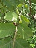 Guava, Naukowy imię: Psidium guajava zdjęcie stock