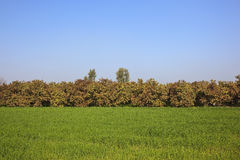 Guava orchard and wheat field Royalty Free Stock Photography