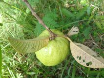 Guava owoc obraz stock