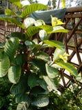 Guava plant stock image