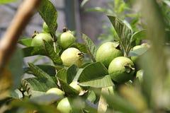 Guava Plantation Royalty Free Stock Photography
